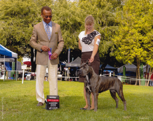 Gemma finished her AKC Championship at 12 months