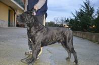 Alex from Gianfranco Vullo: line bred on Nik, Caio's sire